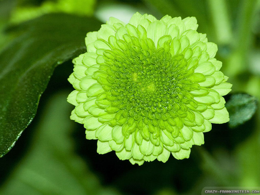 Light Green Flowers Wallpapers Crazy Frankenstein