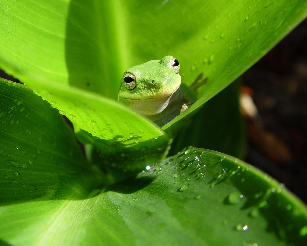 Cute Green Frog New Wallpaper 21571 High Resolution