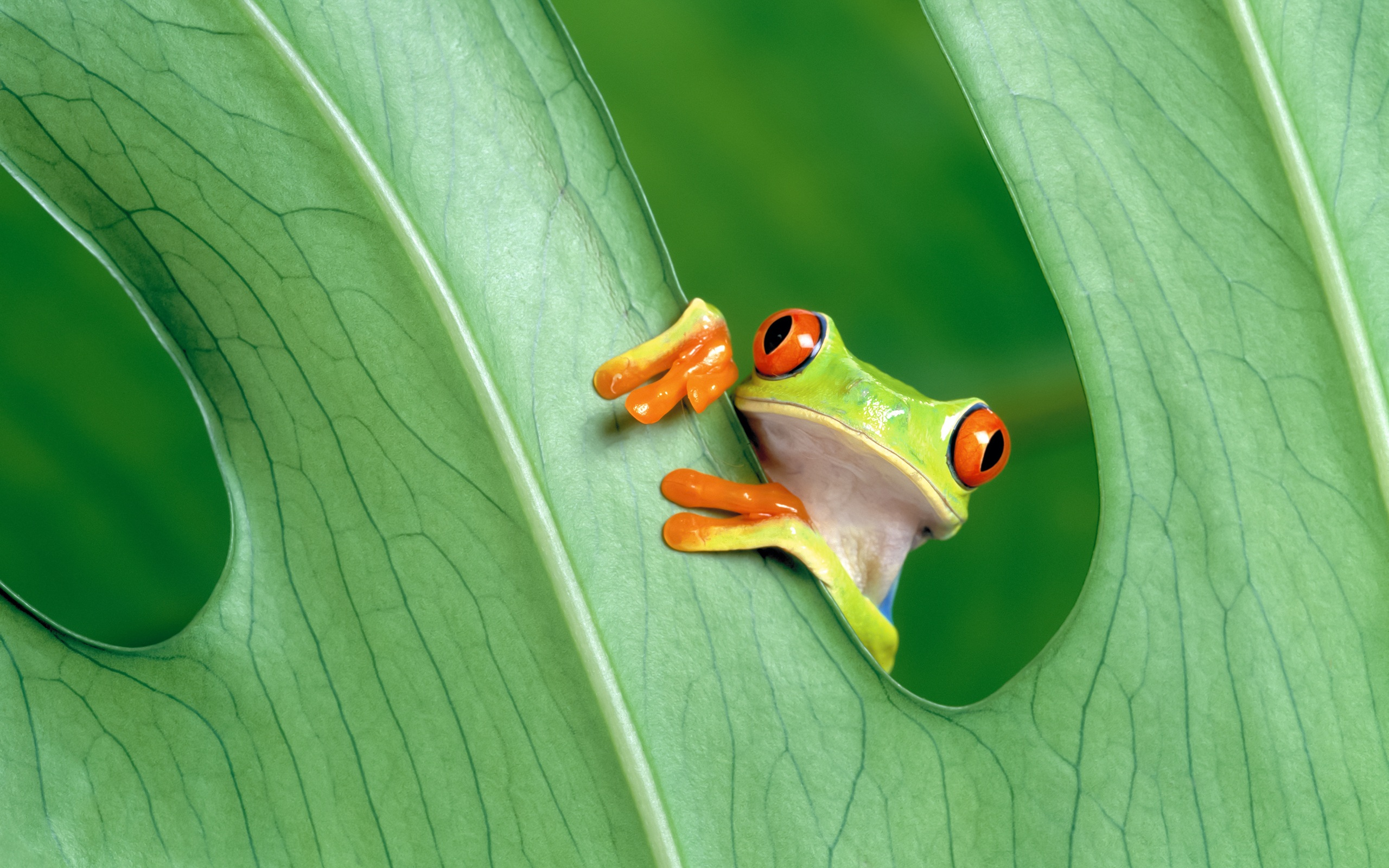 Green Frog On Wallpapers (8)