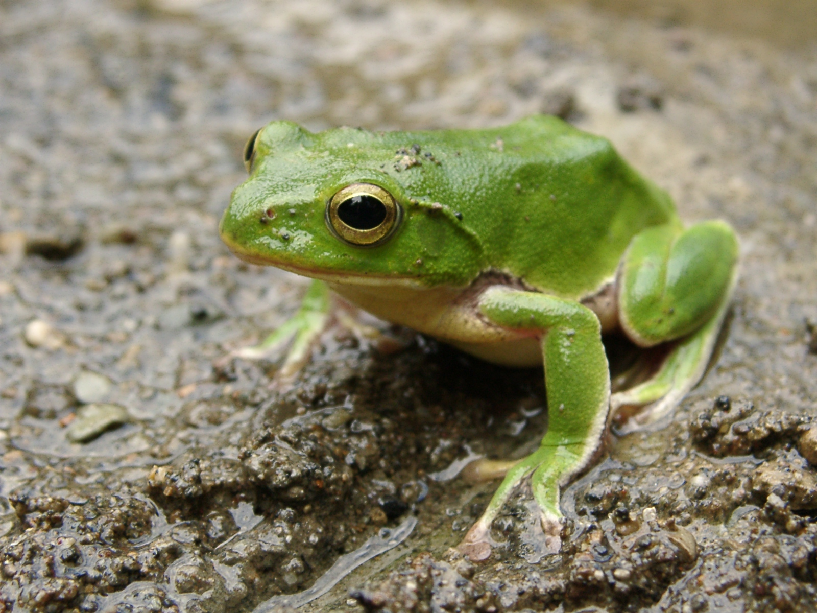 Green Frog Photograph