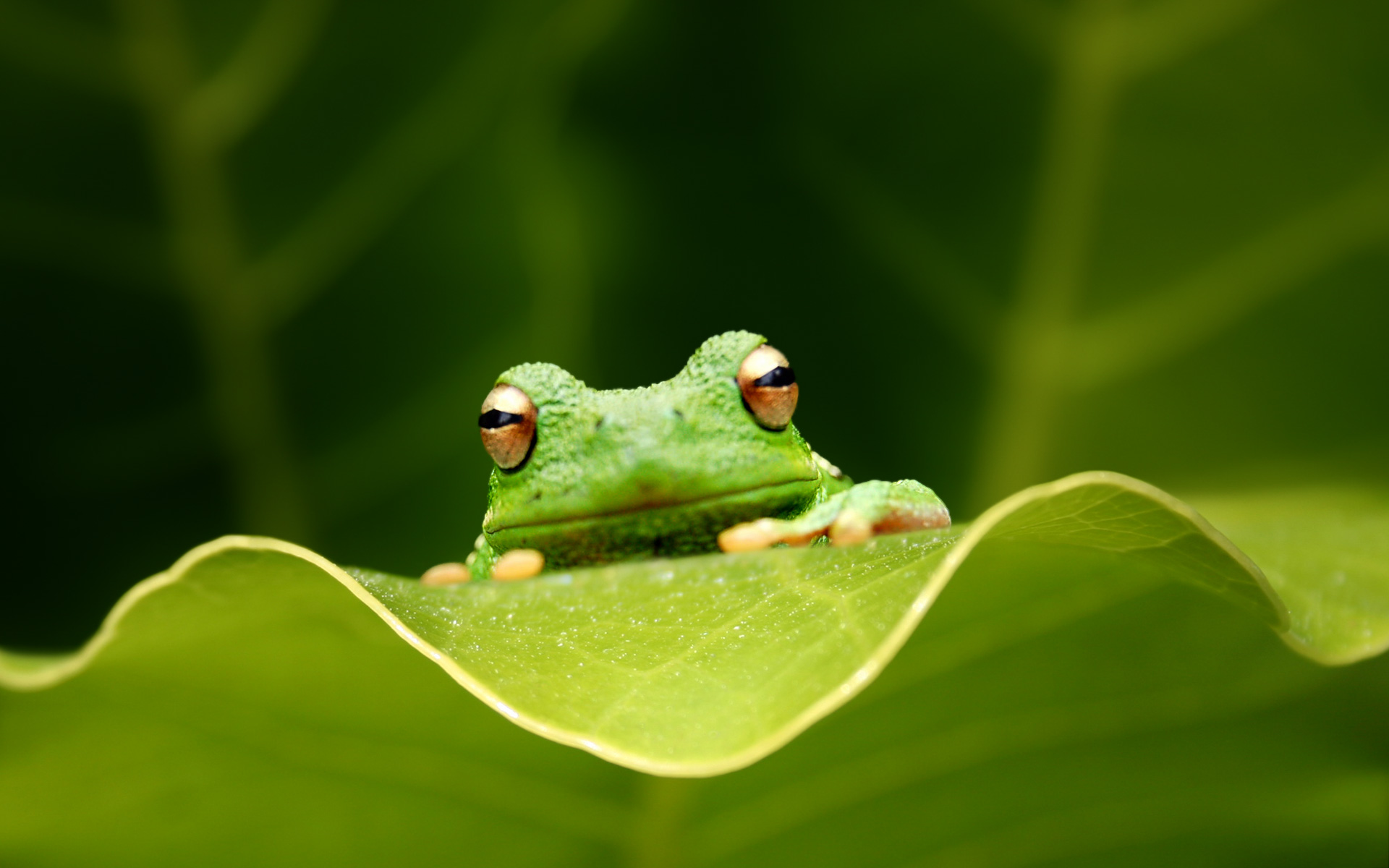 beautiful frog high definition wallpaper