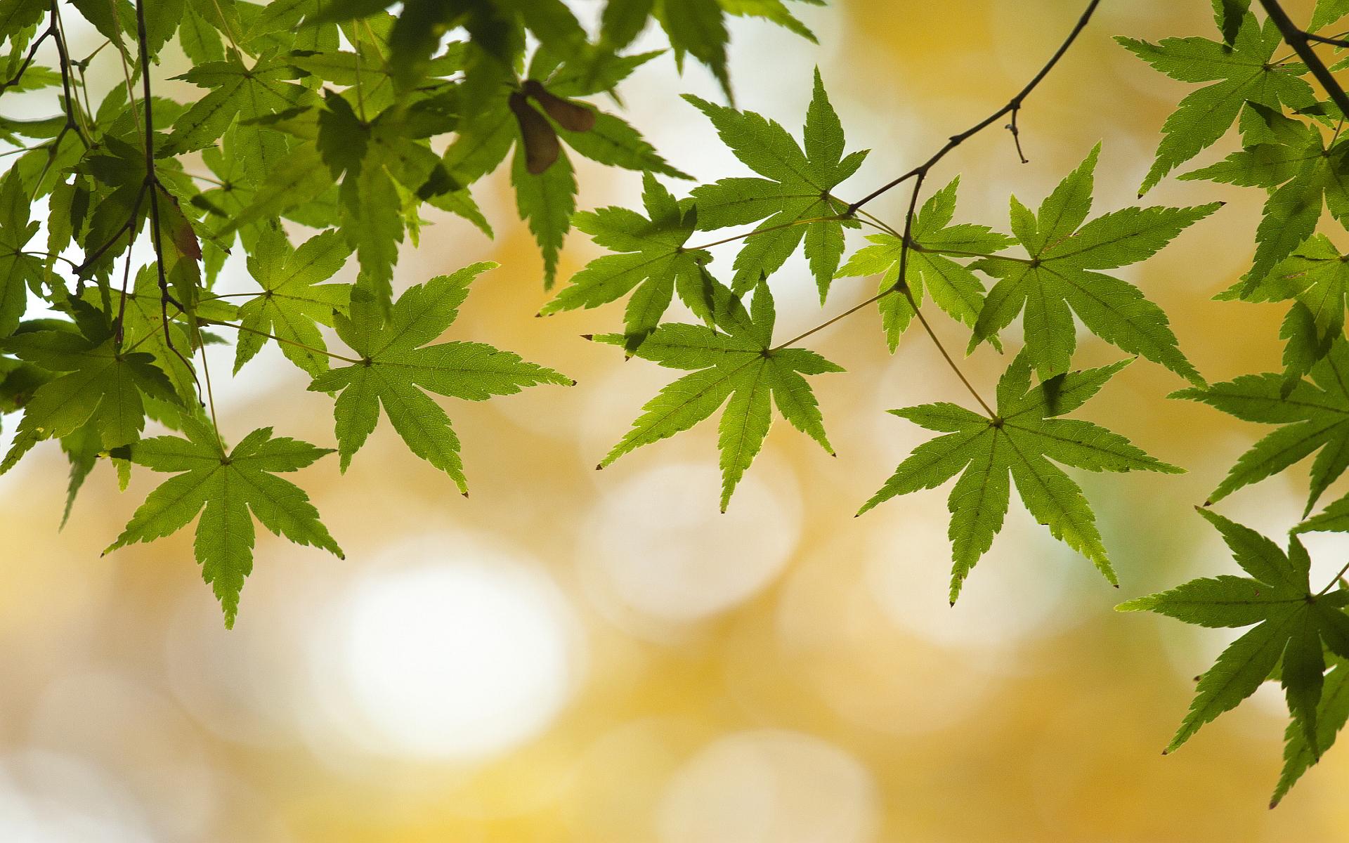 Green leaves summer