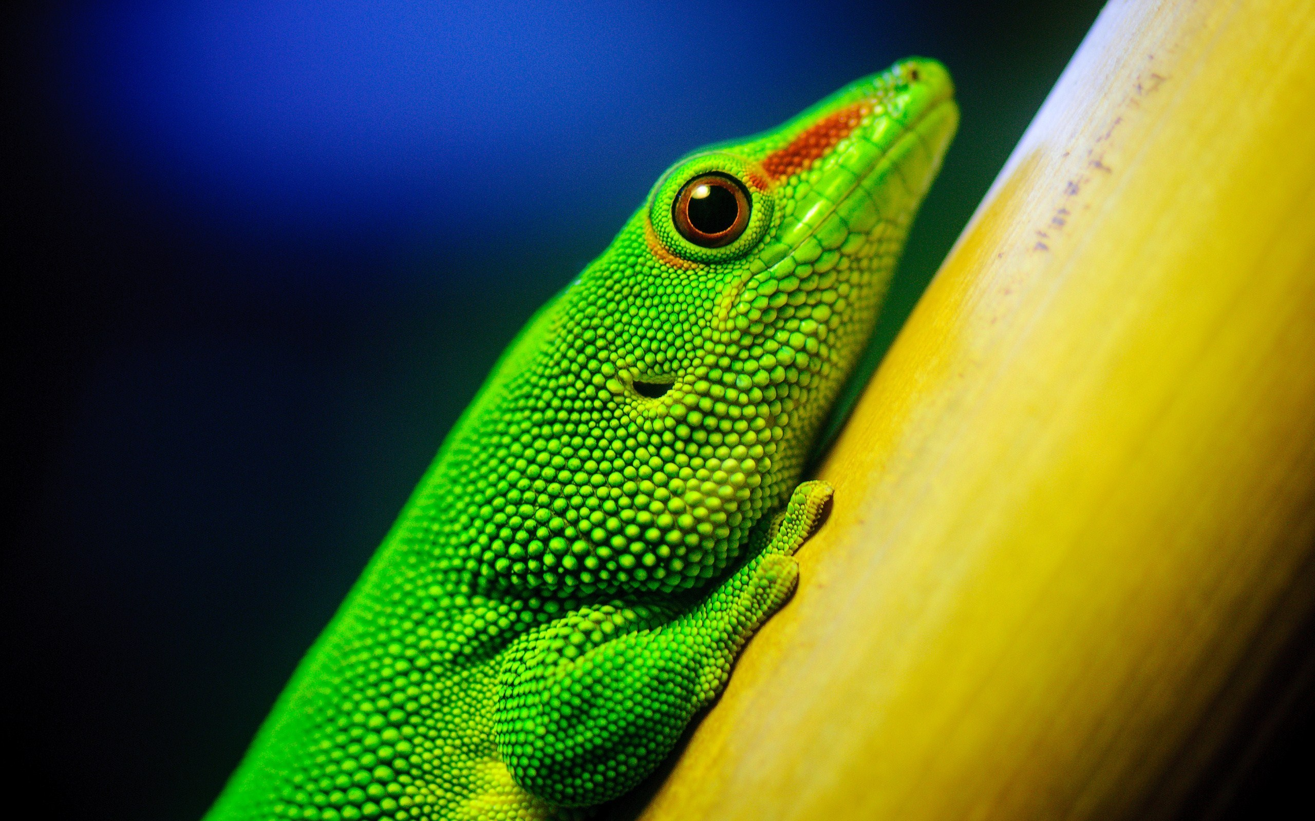 green lizard branch close up blue light wide hd wallpaper is a lovely background.