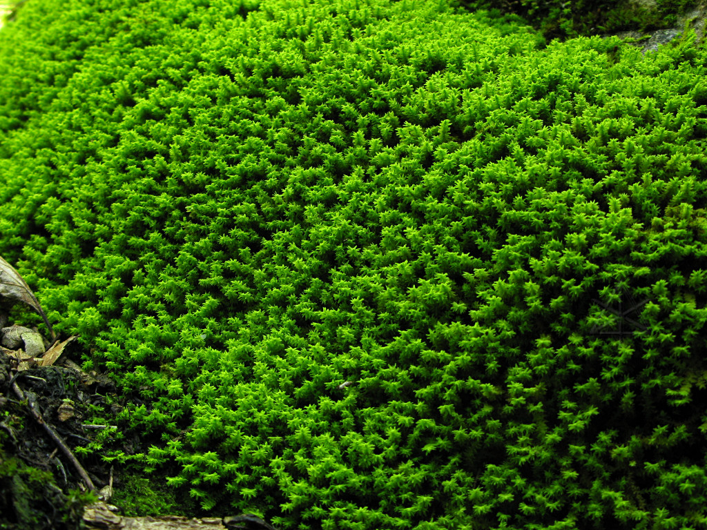 779hk-moss.jpg -- Brilliant green ...