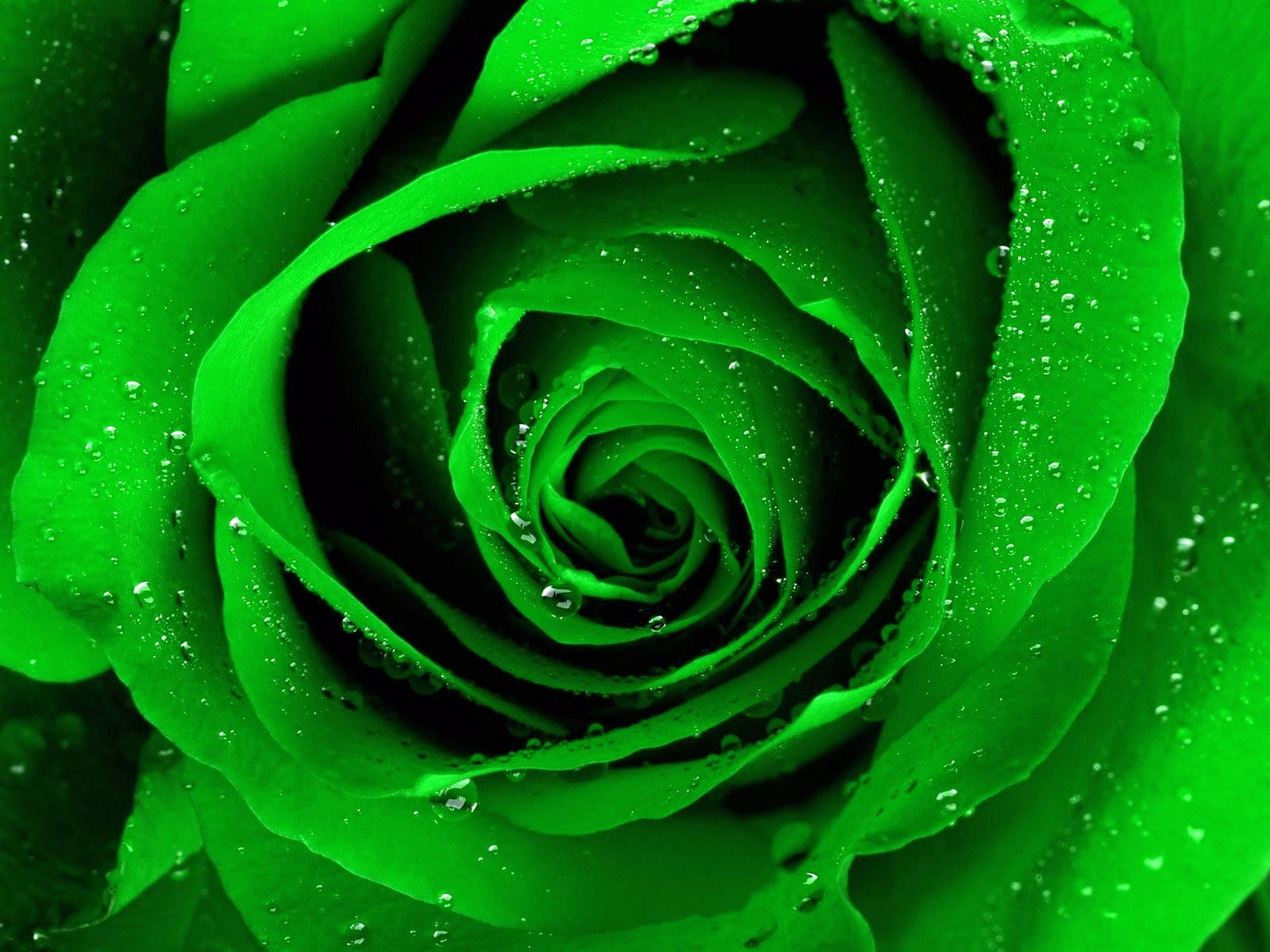 Green Rose Wallpaper HD