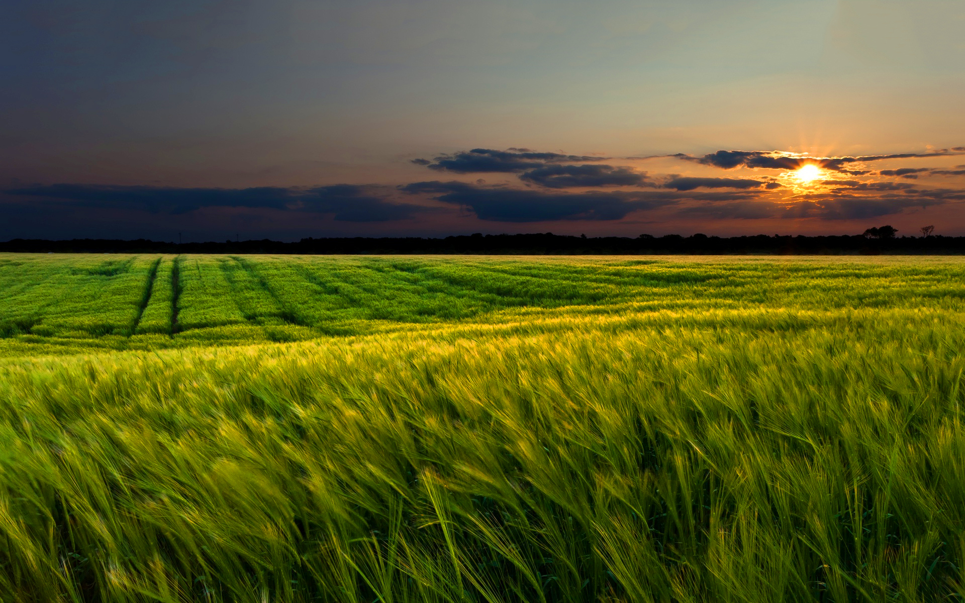 Green wheat field sunset