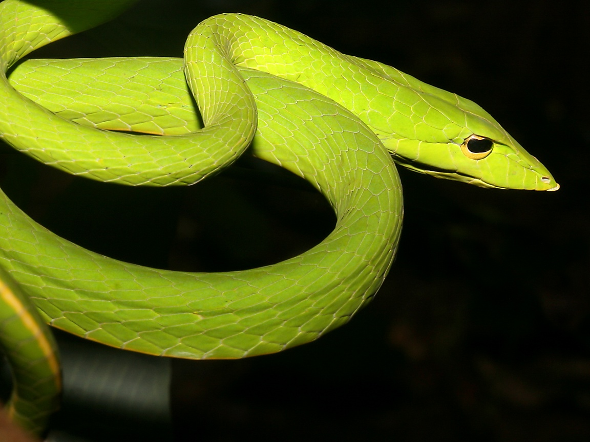 Long nosed whip snake side view