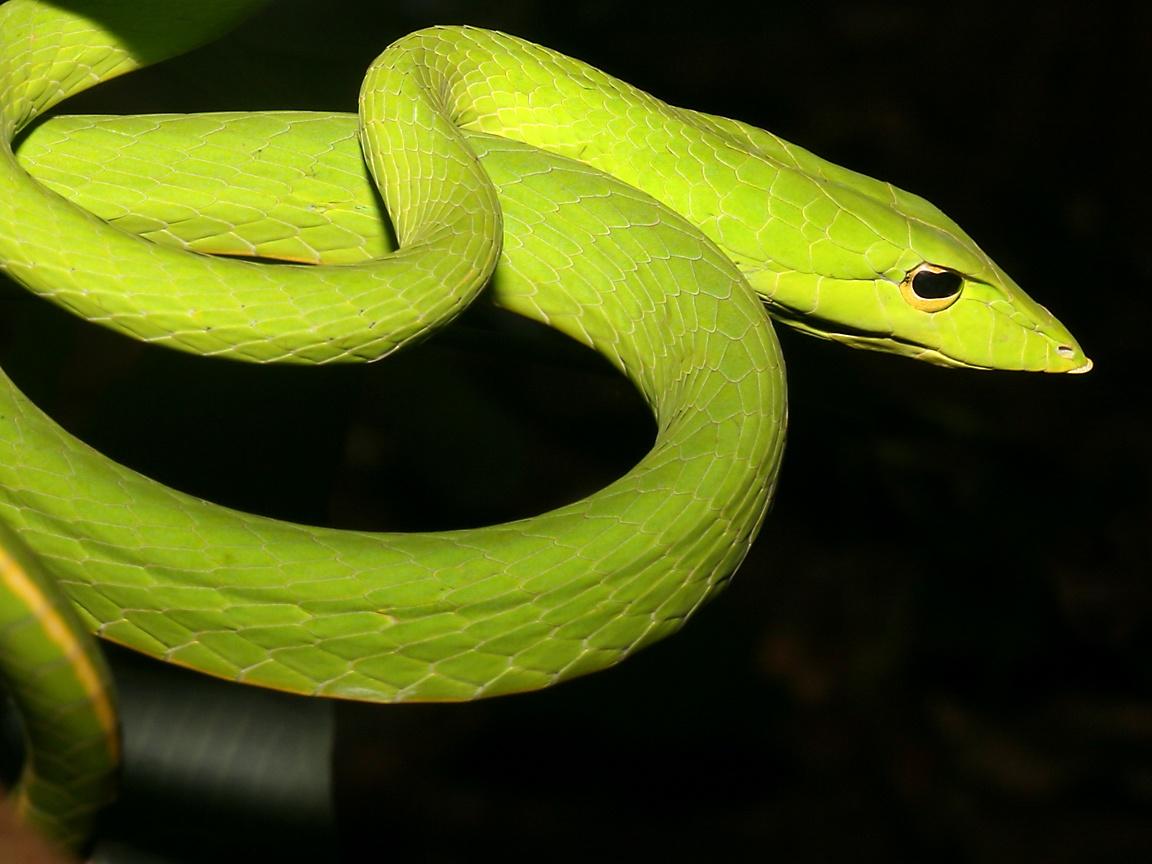 Green whipsnake