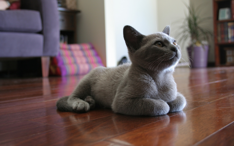 Grey cat sitting