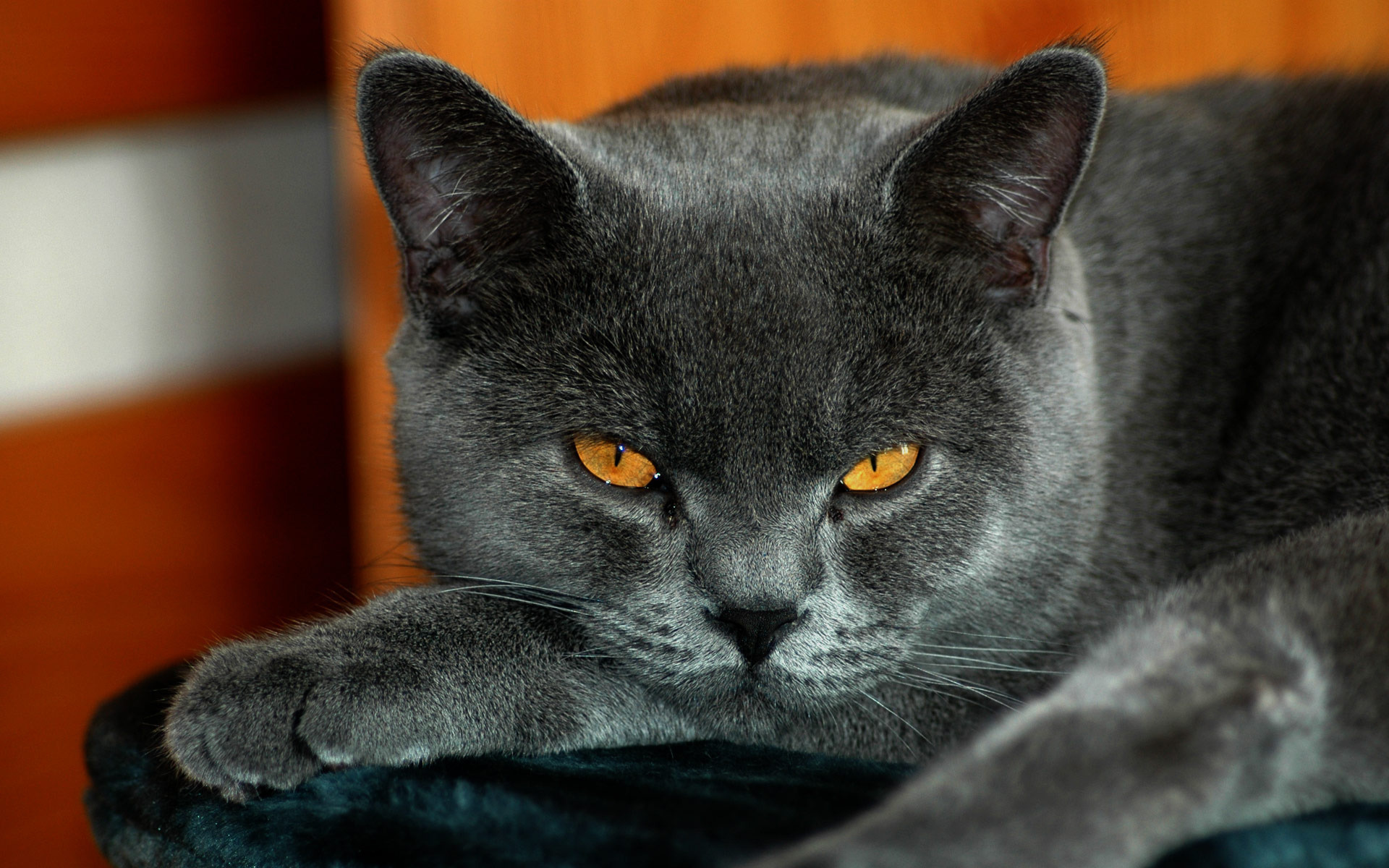 Grey cat yellow eyes