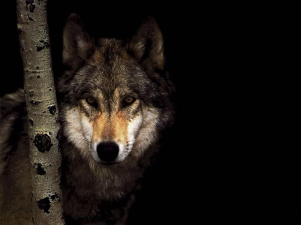 Top Wallpaper Angry Gray Wolf - grey-wolf-hd-1  Pictures_318068      .jpg