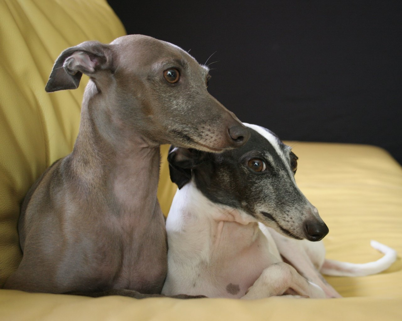 http://images2.fanpop.com/image/photos/13000000/Italian-Greyhound-dogs-13073855-1280-1024.jpg