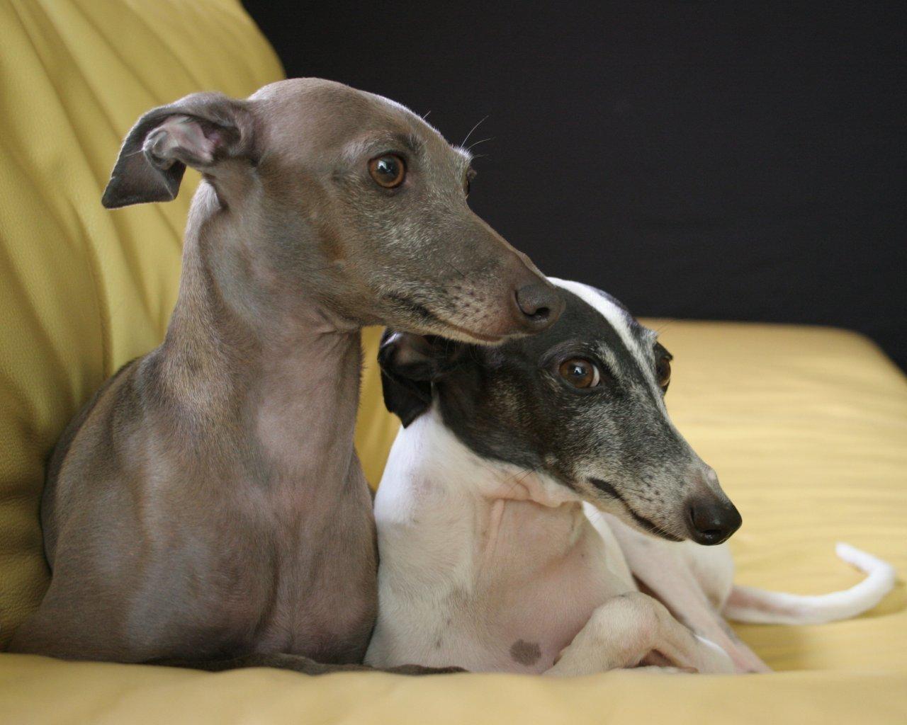 http://images2.fanpop.com/image/photos/13000000/Italian-Greyhound-dogs-13073855-1280-1024.jpg