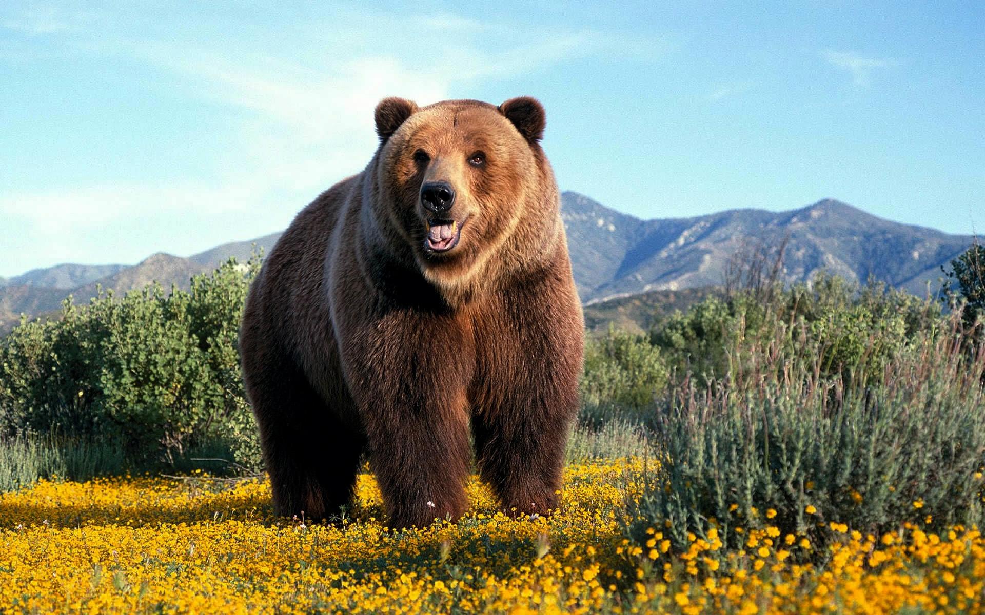 Grizzly Bear Wallpaper · Grizzly Bear Wallpaper ...