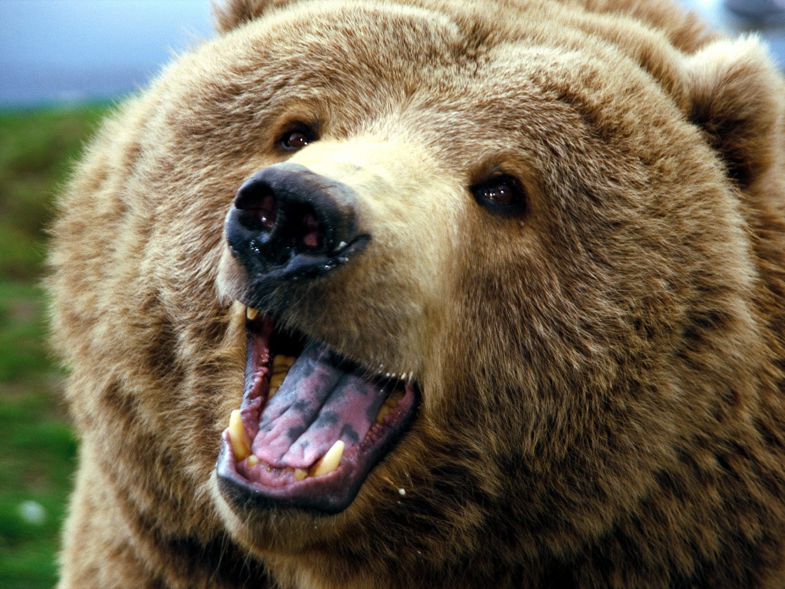 ... Grizzly Bear ...