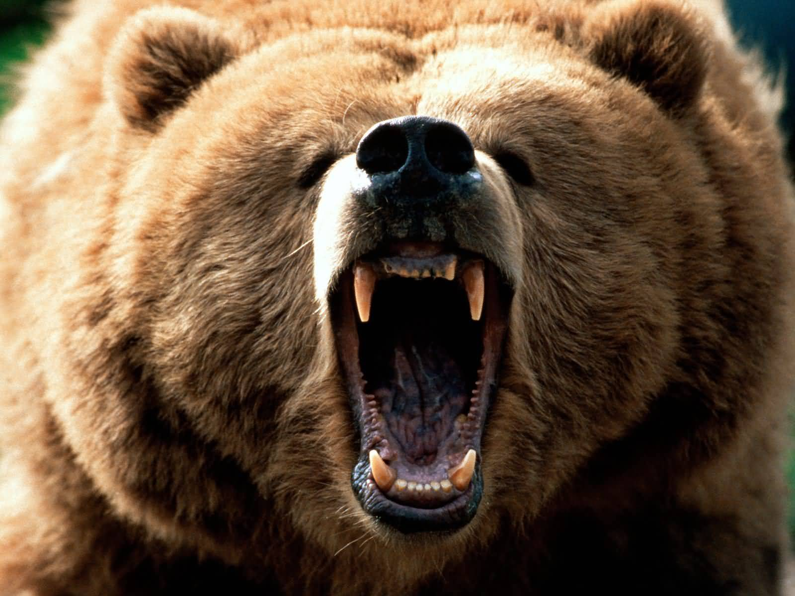 Grizzly bear fight, Grizzly bear attack, ...