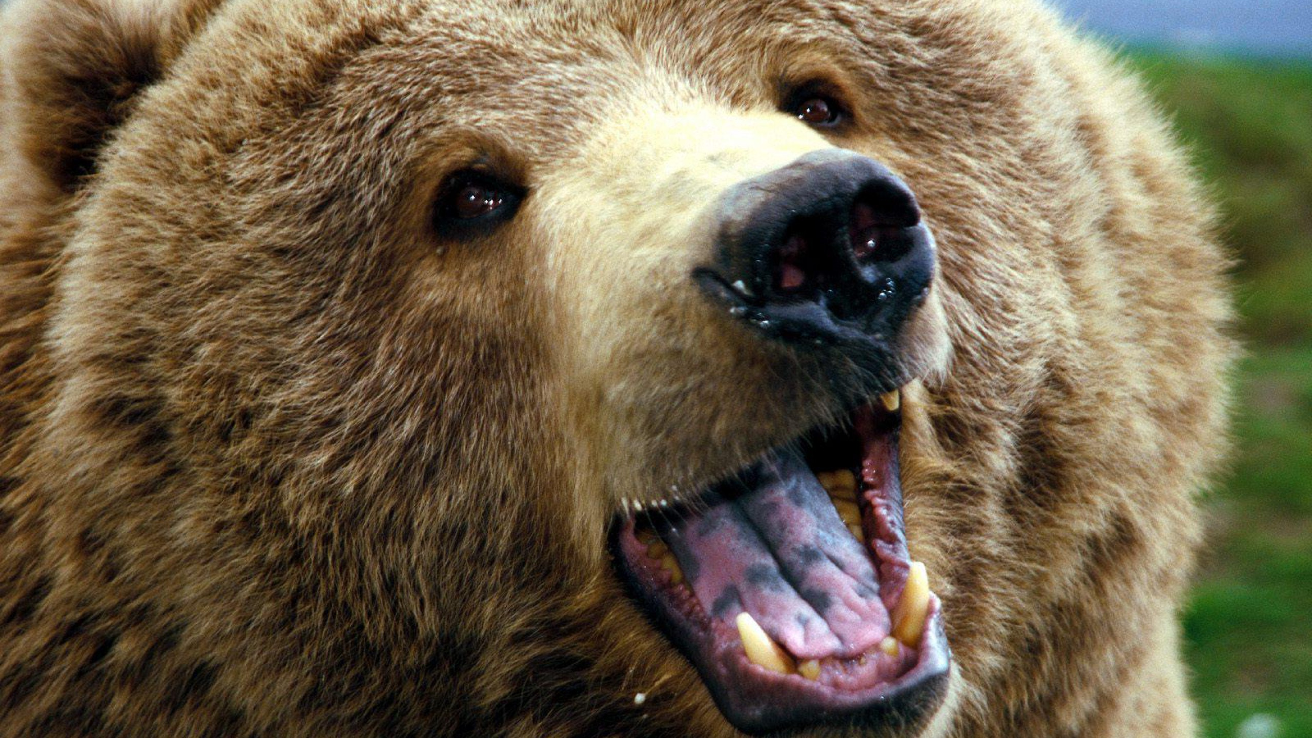 Grizzly Bear Pictures Wallpaper