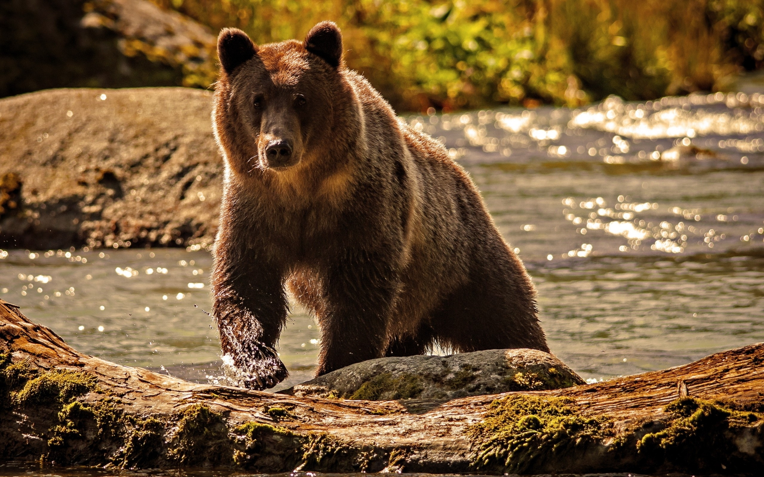 Images for Gt Grizzly Bear Wallpaper 2560x1600px