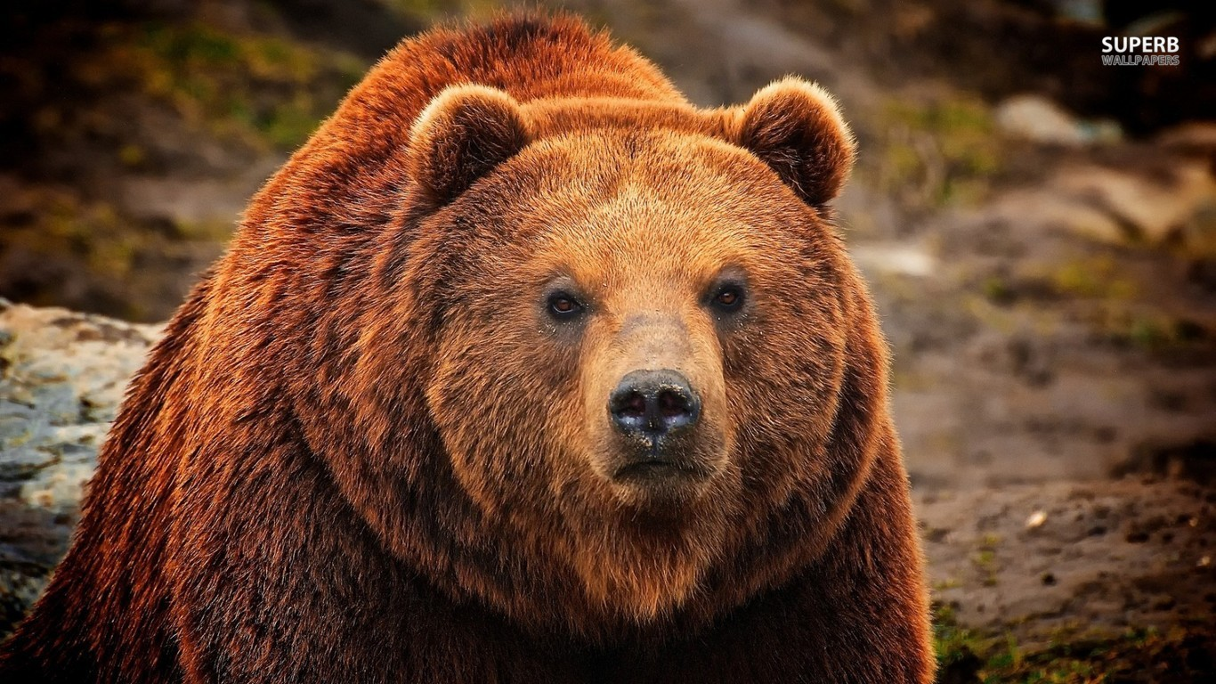 Grizzly bear wallpaper 1366x768