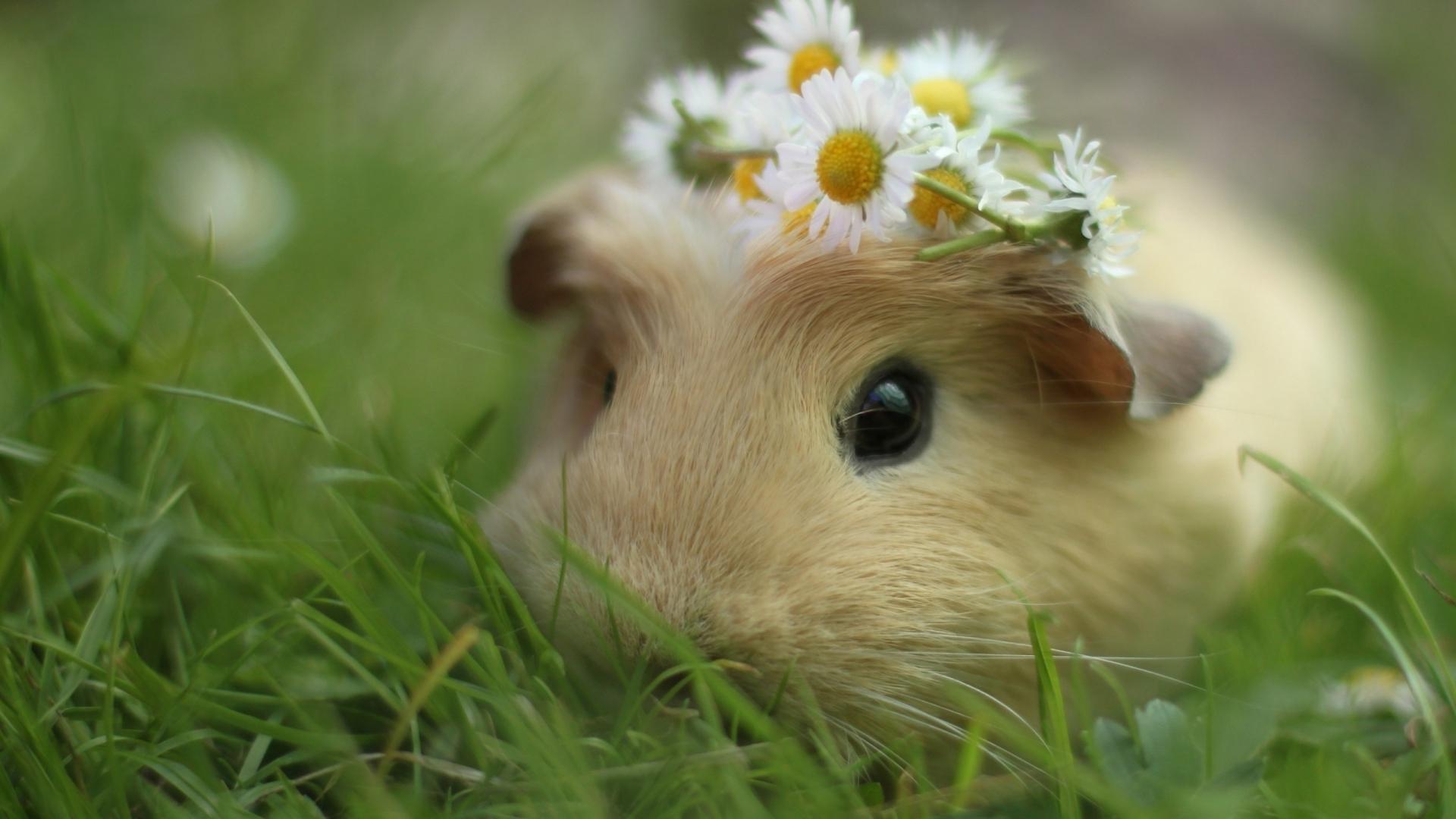 Guinea Pig ...