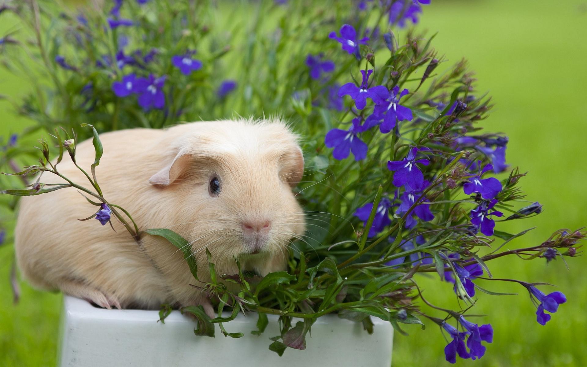 Guinea pig flower