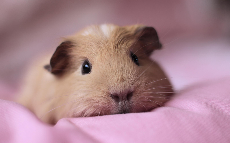Guinea pig hd