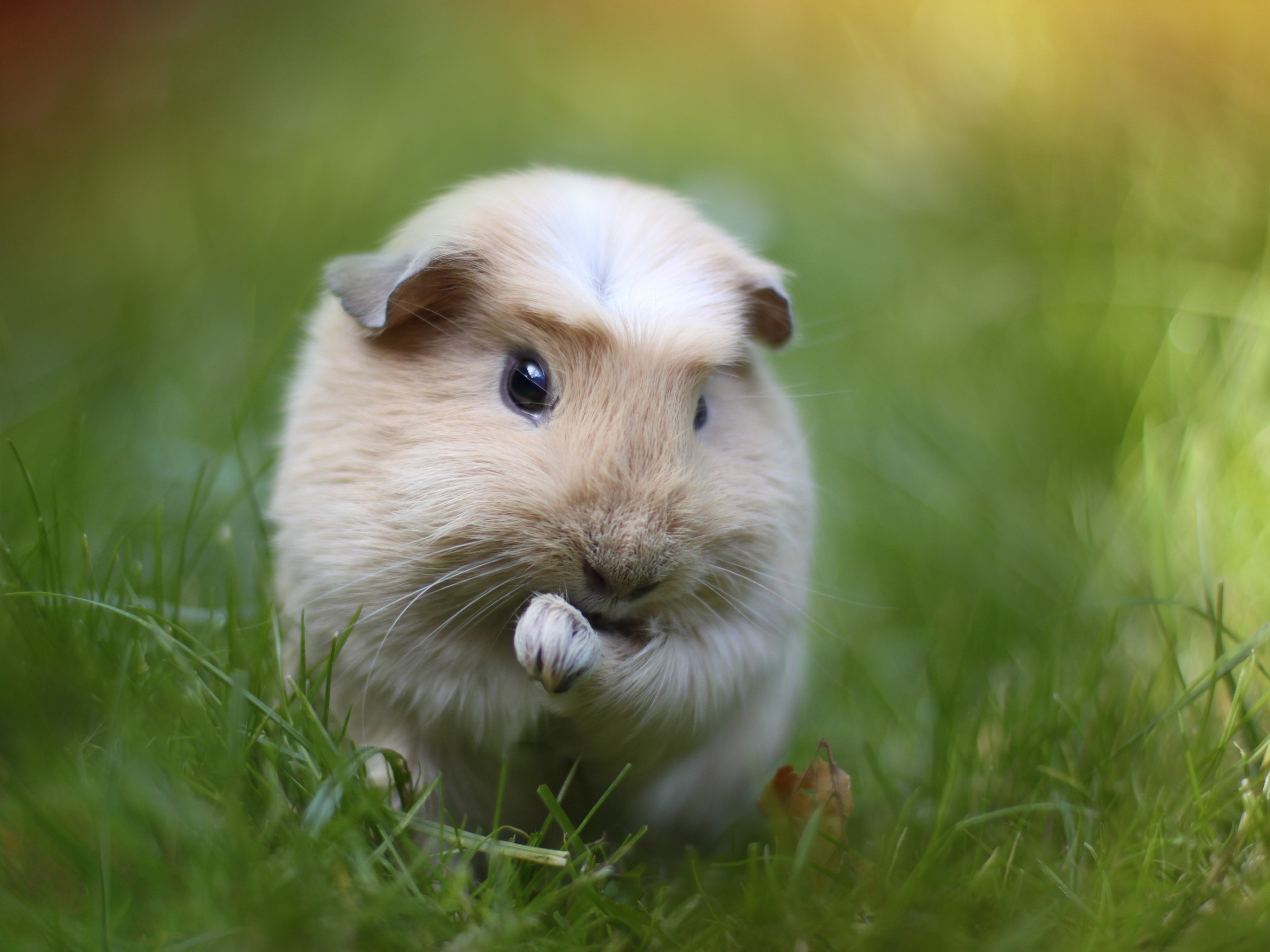rodent guinea pig close up 184748