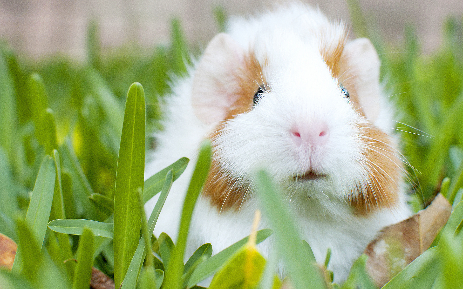 Guinea Pig Wallpaper