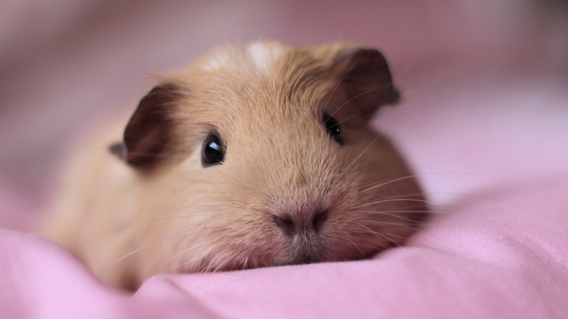 Guinea Pig Wallpaper 6754