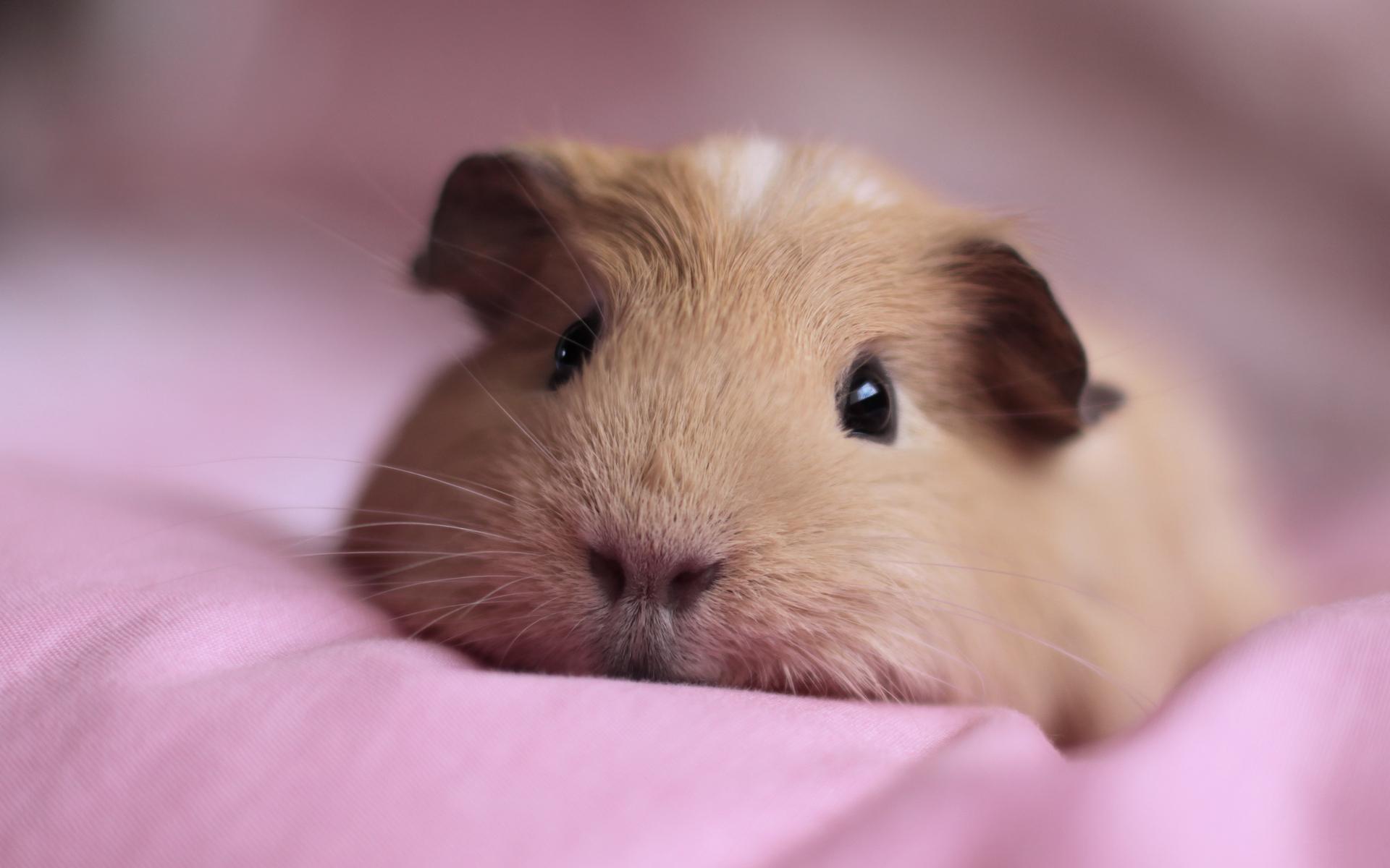 HD Wallpaper | Background ID:381512. 1920x1200 Animal Guinea Pig