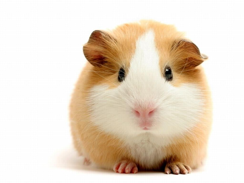 Guinea Pig wallpaper for desktop