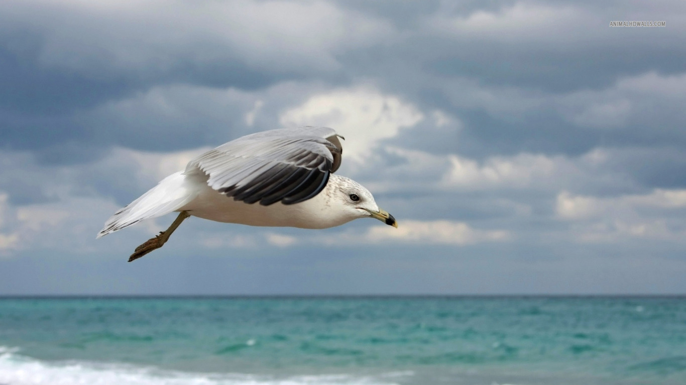Ring-billed Gull wallpaper 1366x768