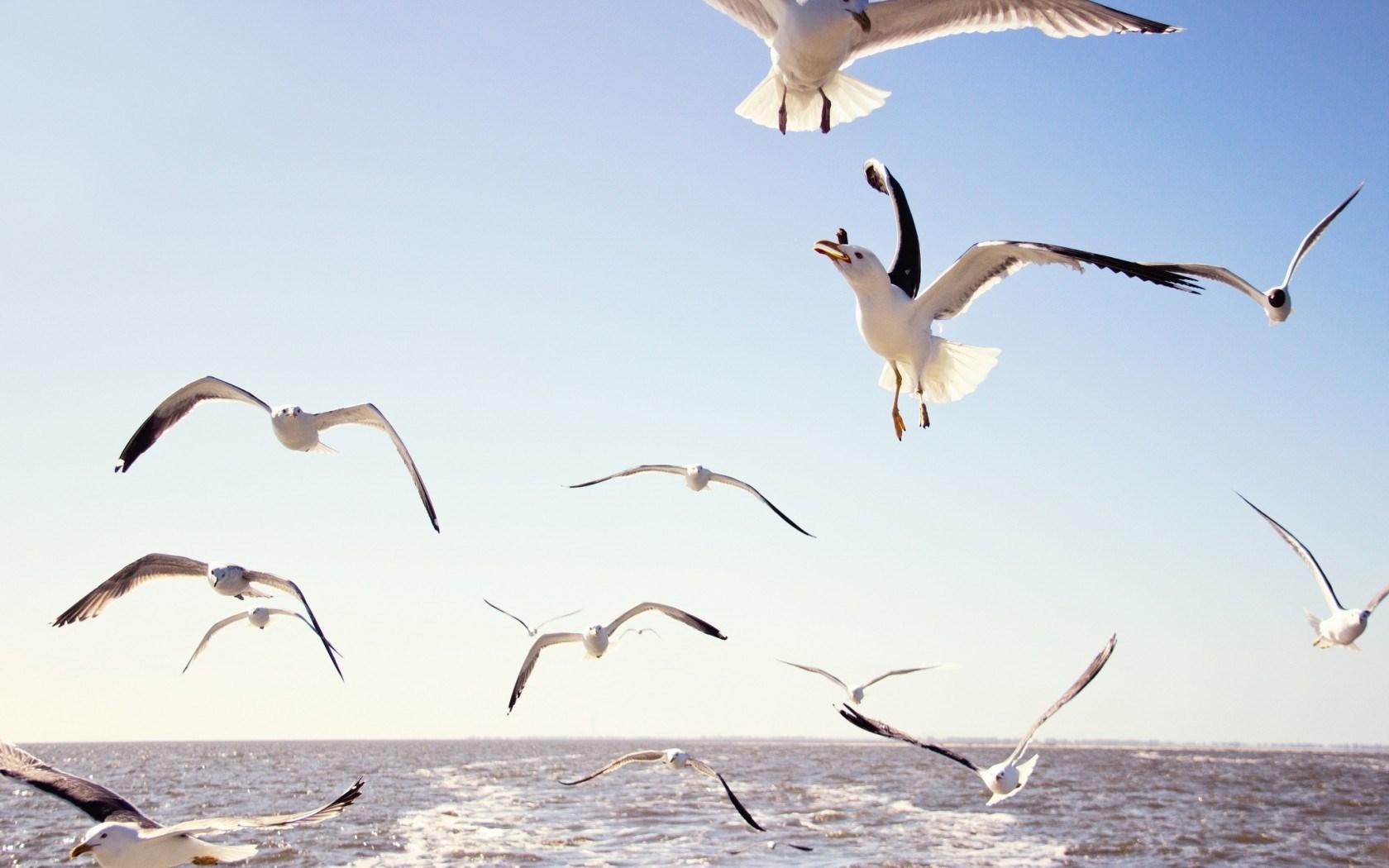 Gulls Birds Flying Sea