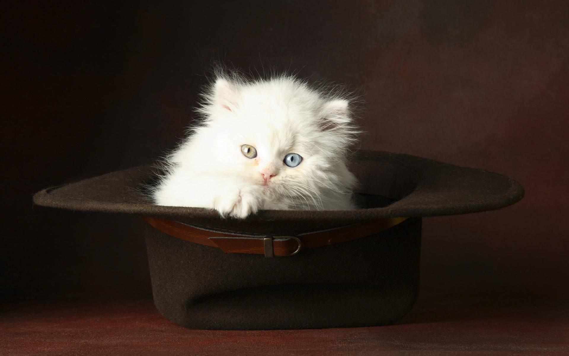 Hat Kitten Photo