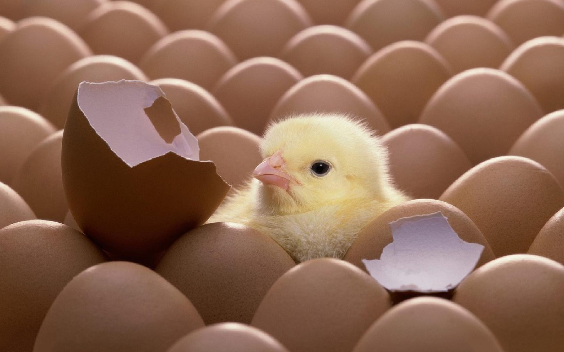 Hatched Chicken
