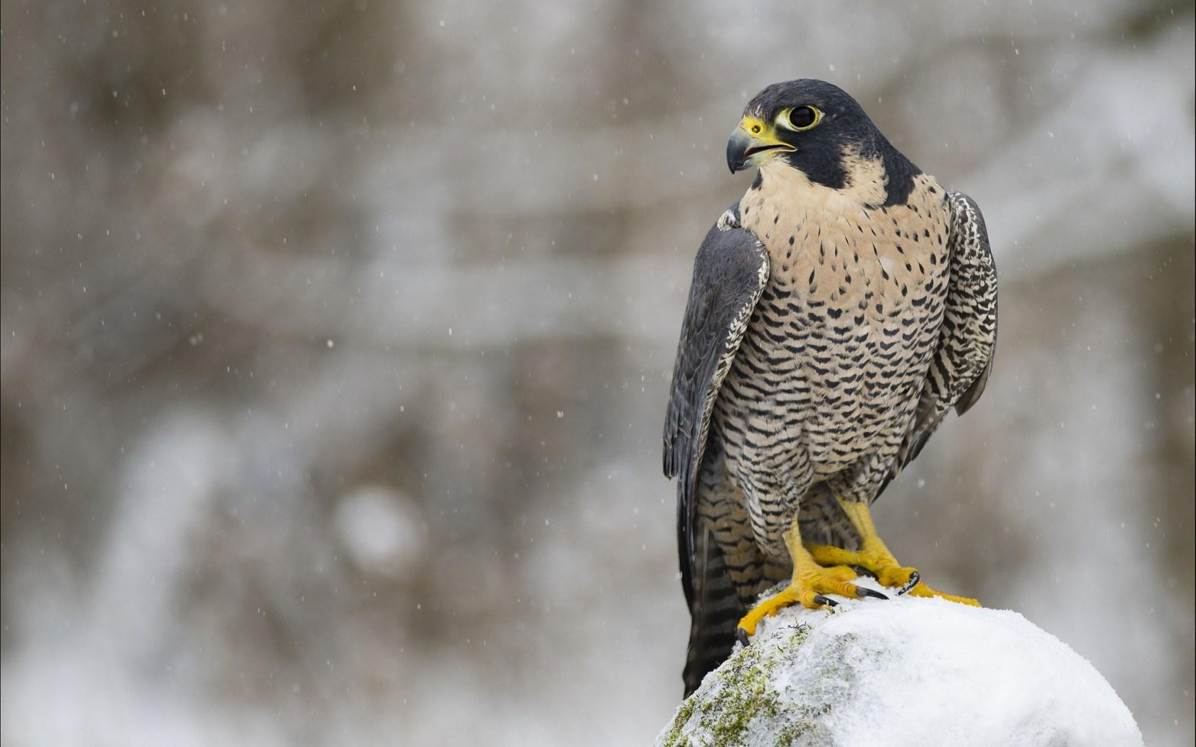 Falcon Bird Predator Look Winter Snow