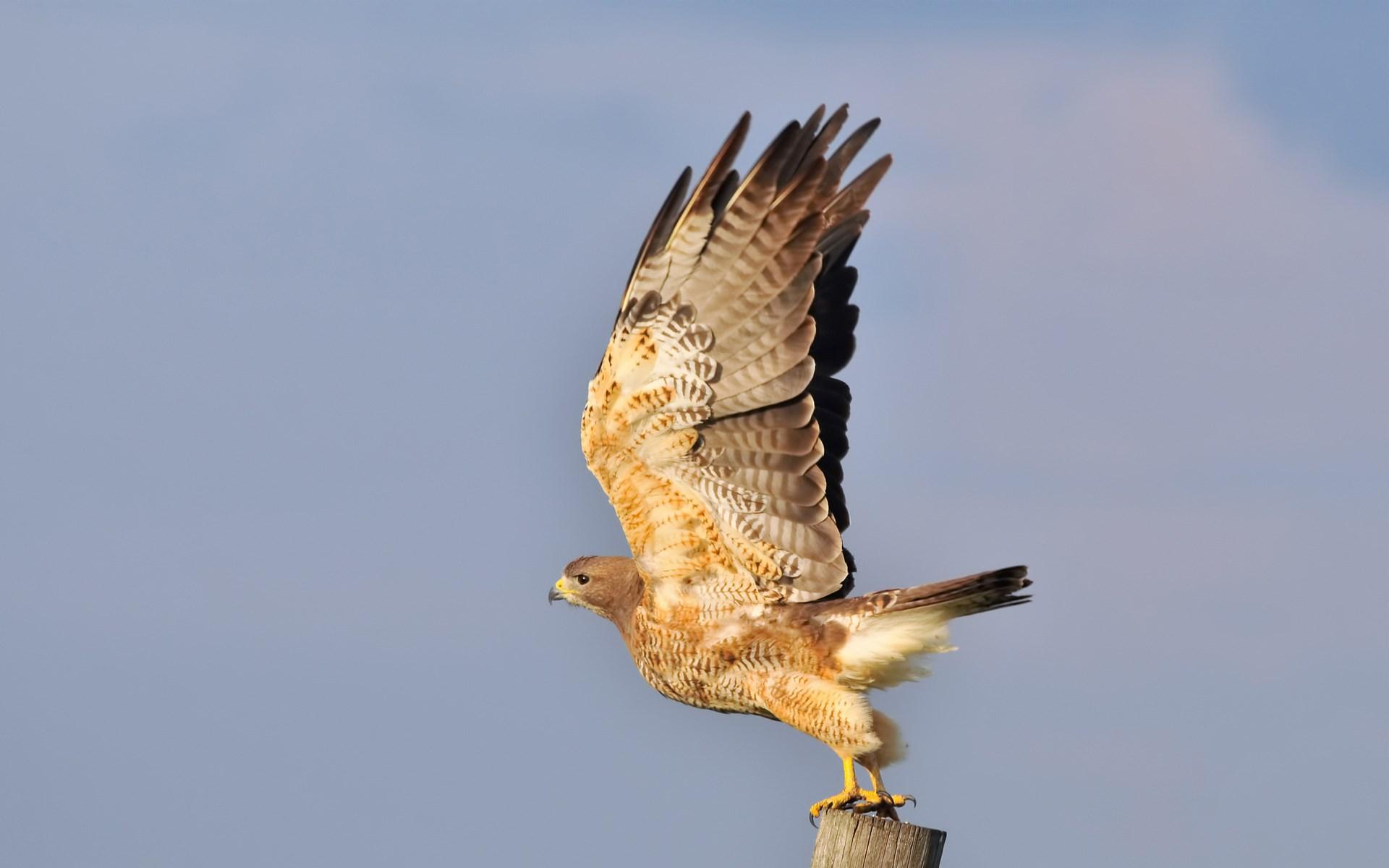 Hawk Bird Wings