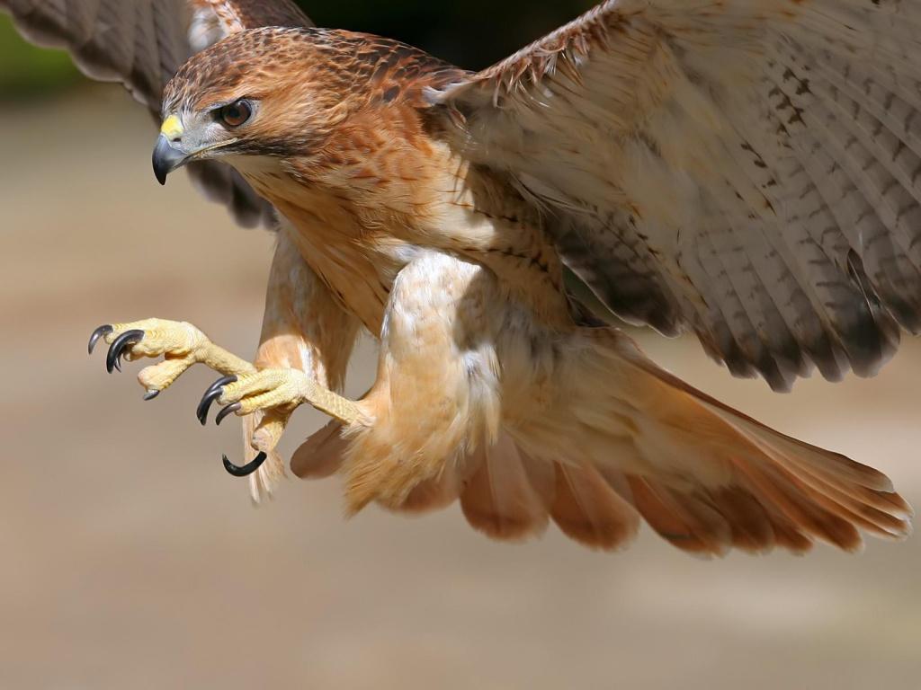 Hawk Wildlife HD wallpaper set by dAKirby309 ...