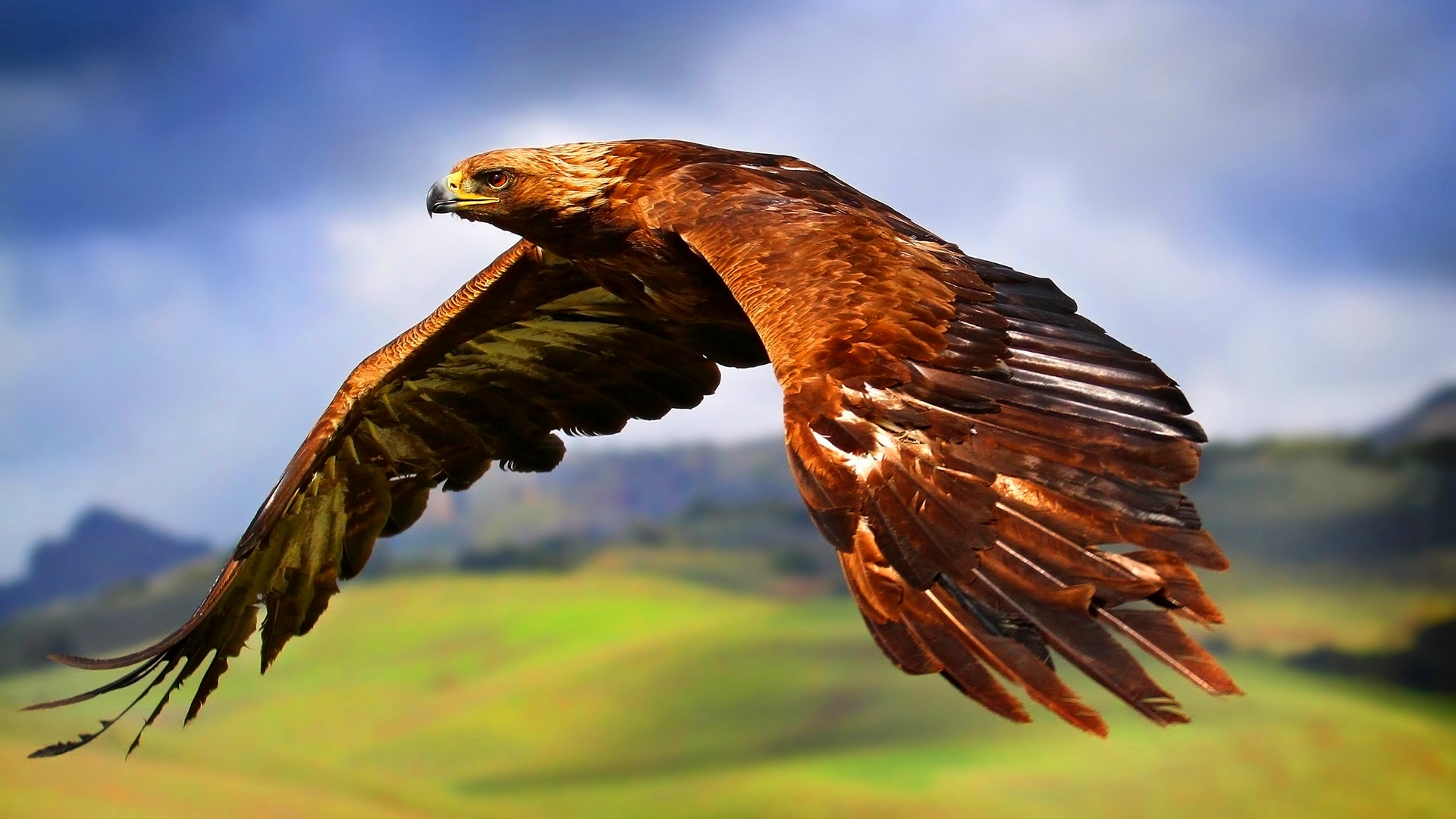 ... Red-tailed Hawk wallpaper (6) ...