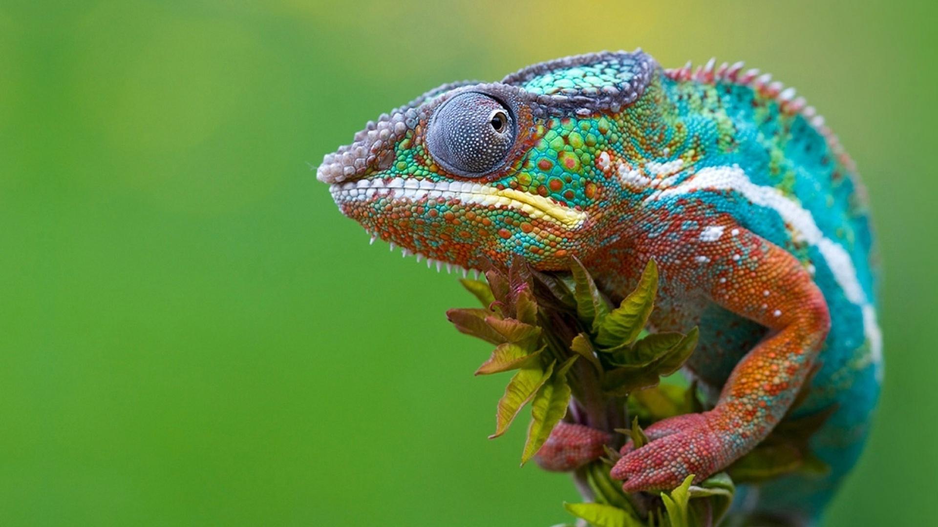HD Chameleon Wallpaper