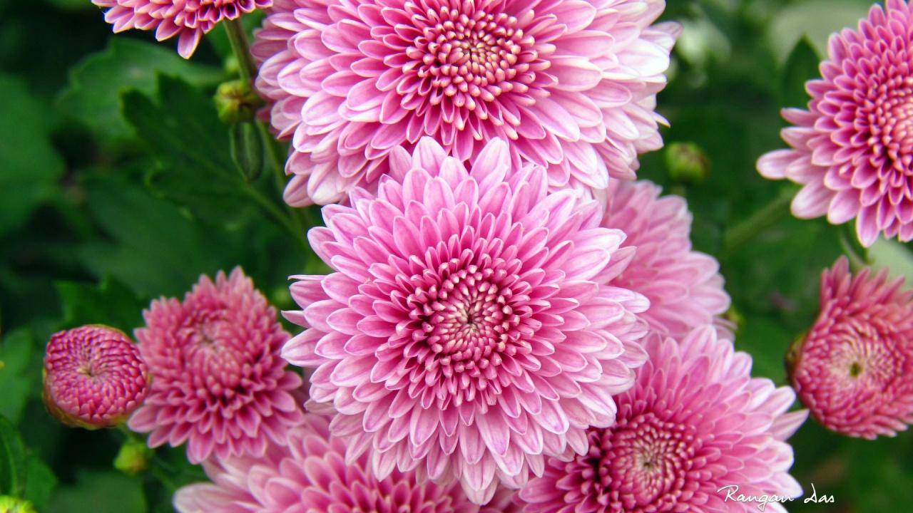 HD Chrysanthemum