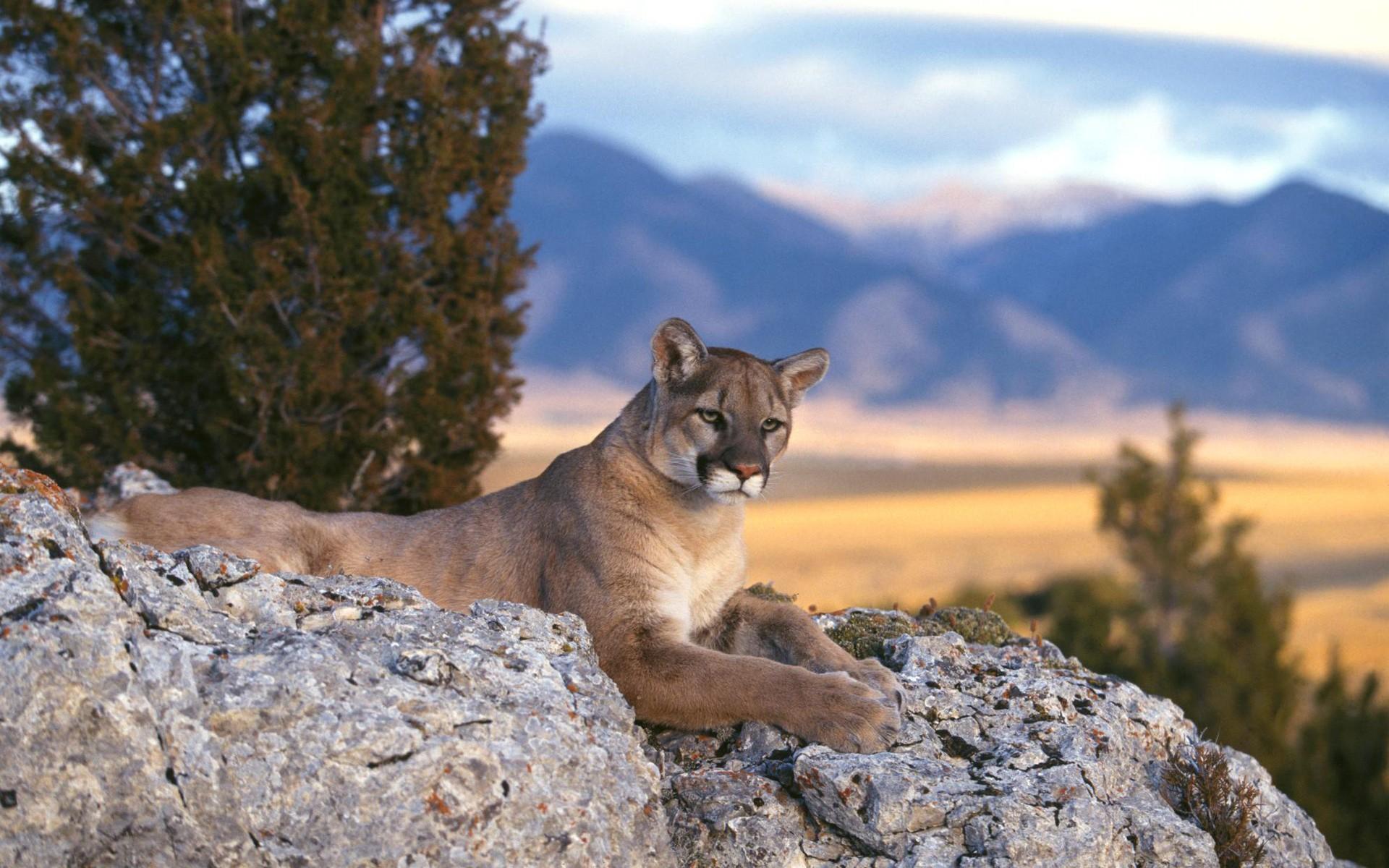 HD Wallpaper   Background ID:456933. 1920x1200 Animal Cougar