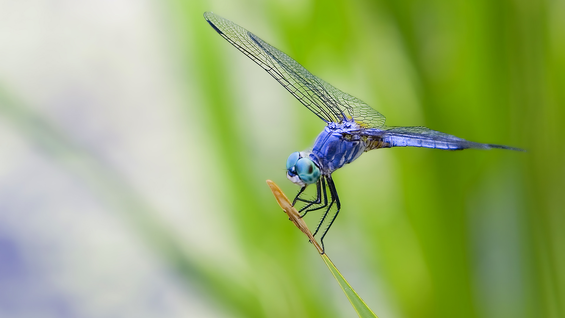 Free Dragonfly Wallpaper 39229
