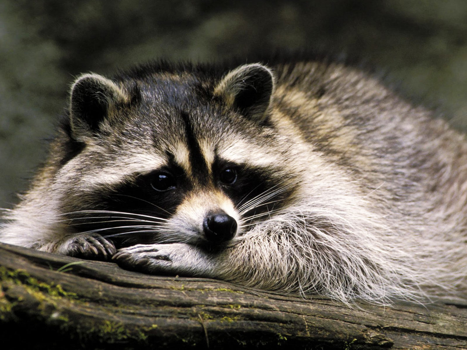 3 Raccoon wallpapers for your PC, mobile phone, iPad, iPhone.