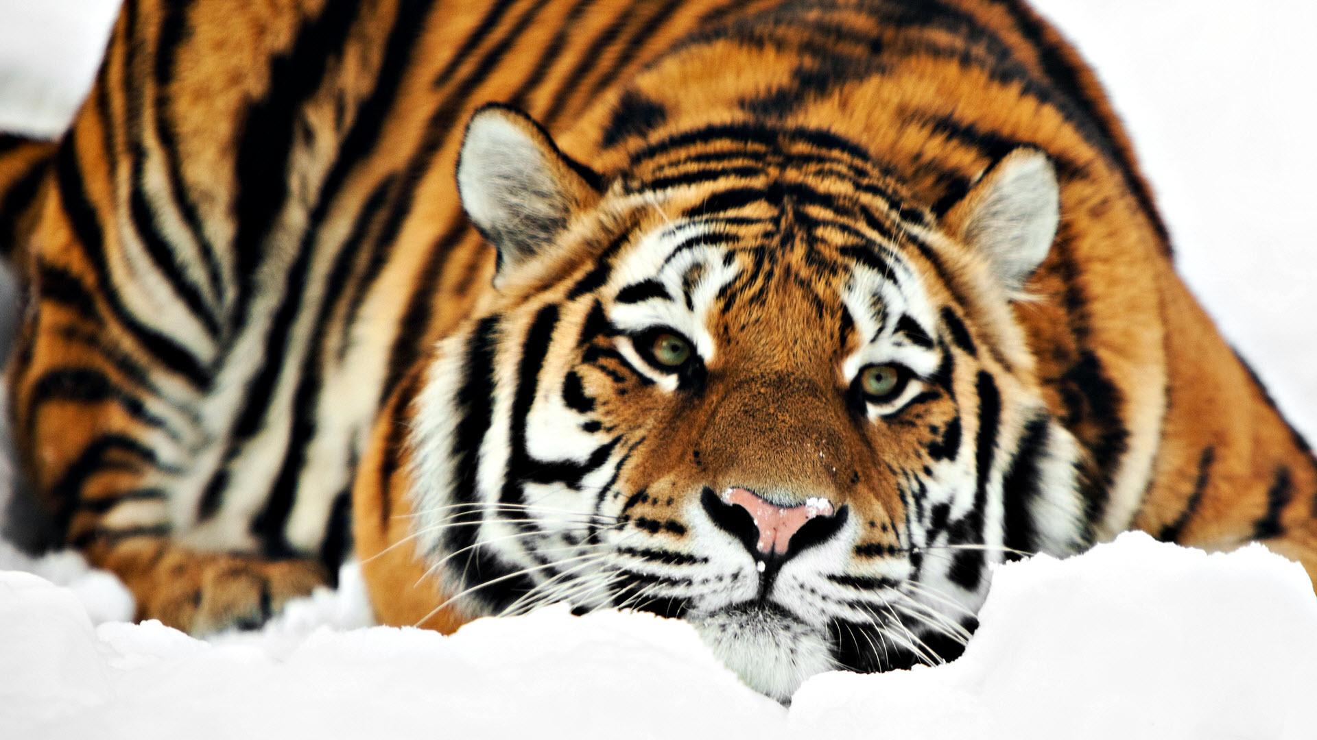 HD Tiger Wallpaper