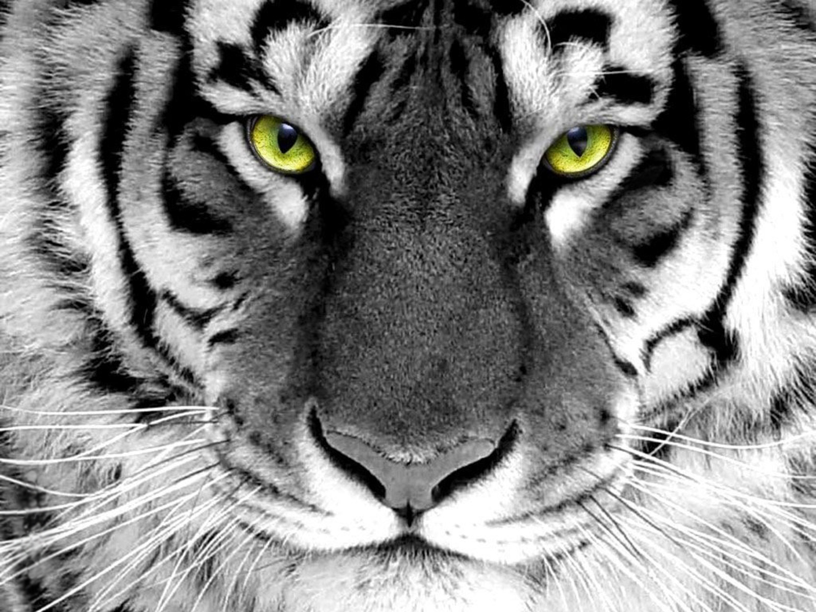 HD Tiger Wallpapers