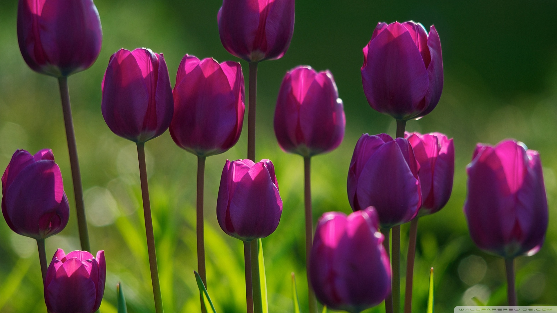 Purple Tulips Hd Desktop Wallpaper High Definition Fullscreen