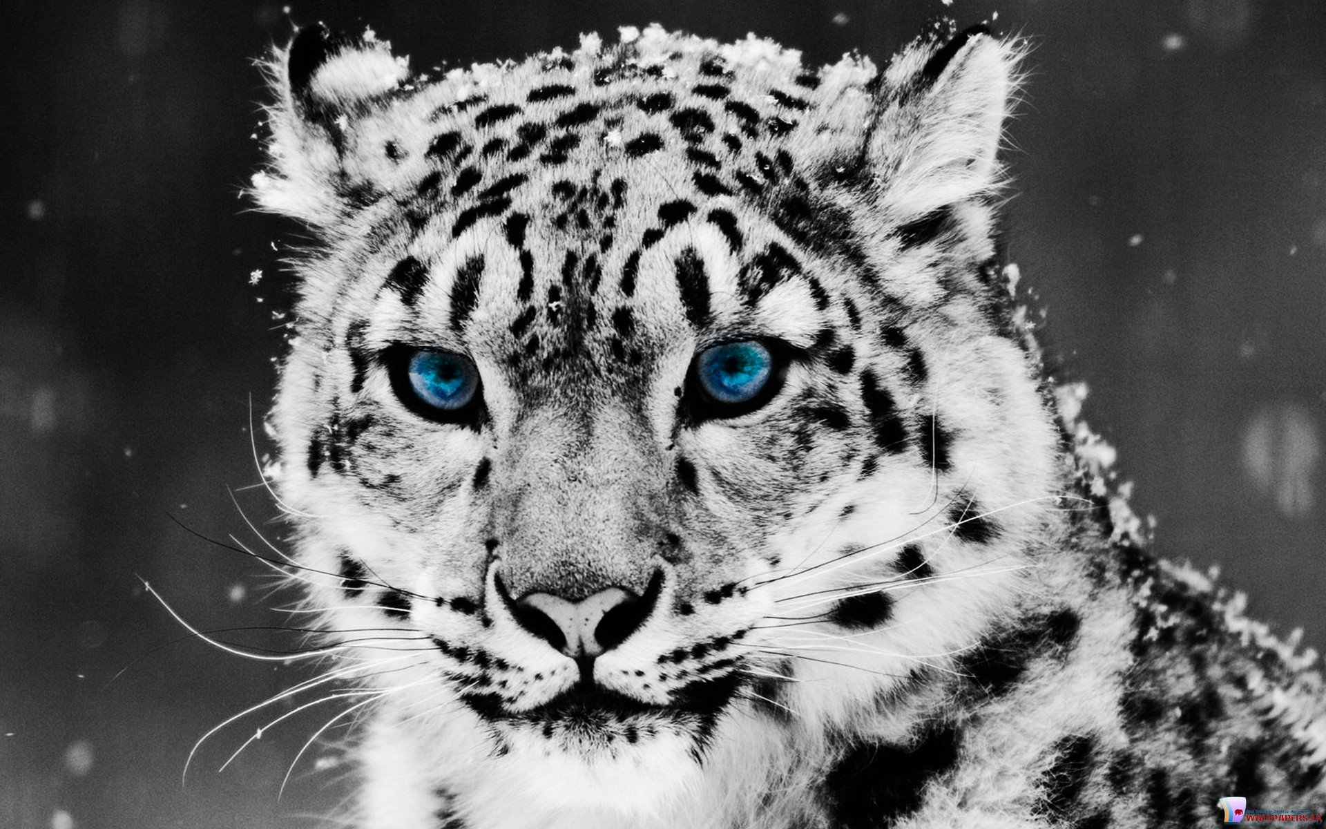 HD White Tiger Wallpaper