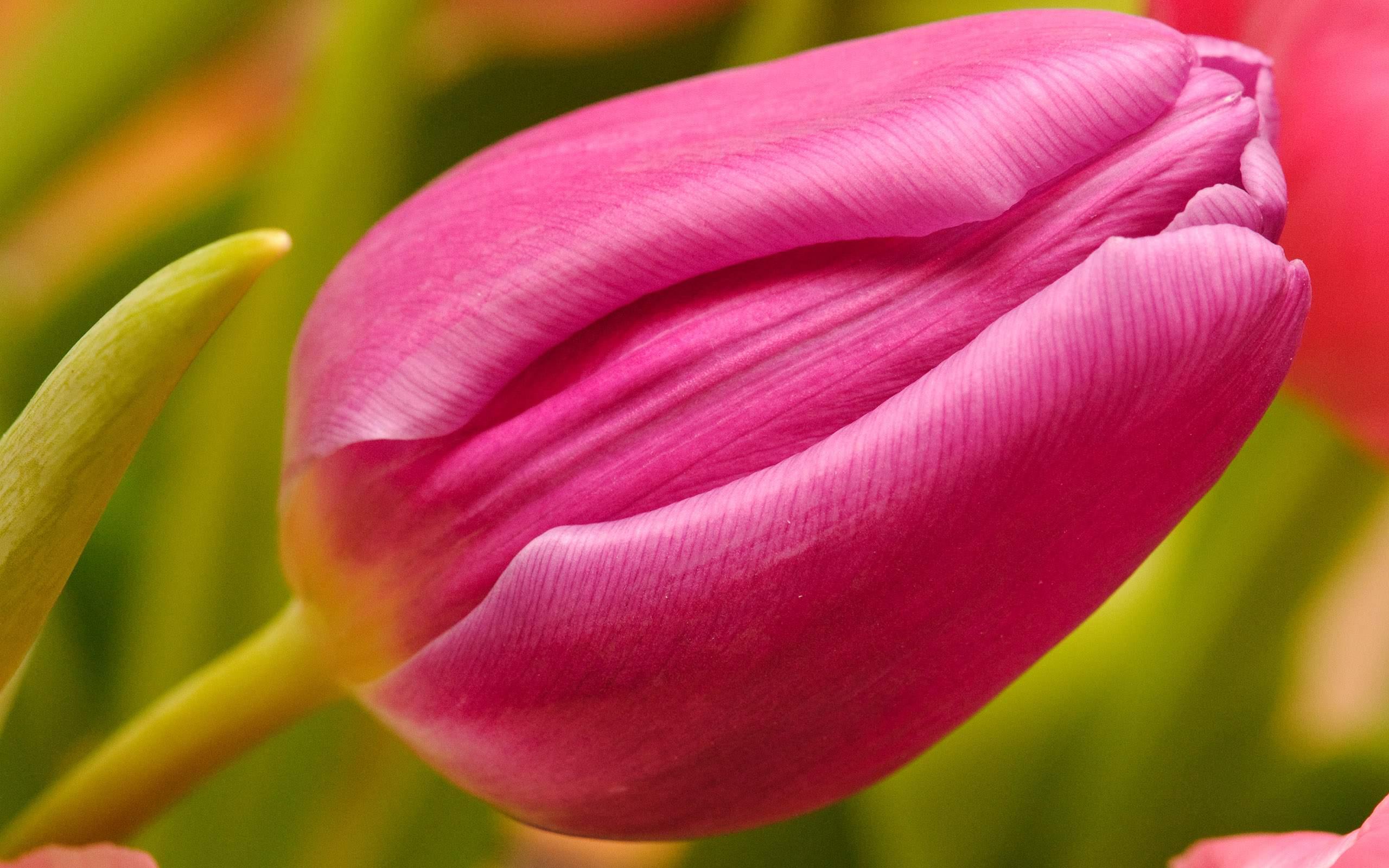Heart pink tulip