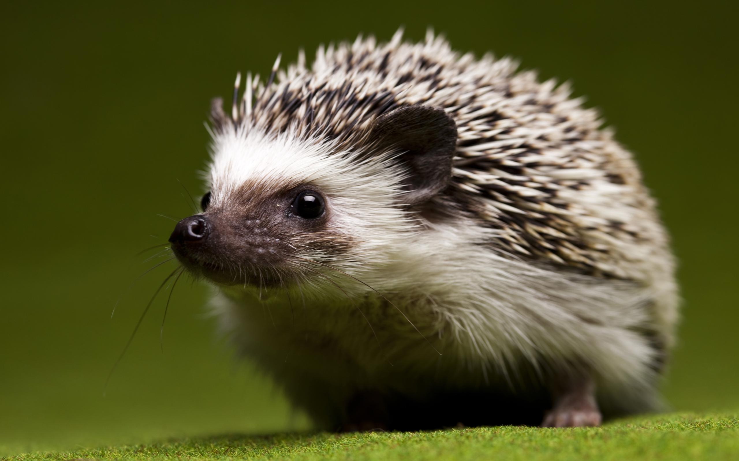 Happy Hedgehog Wallpaper